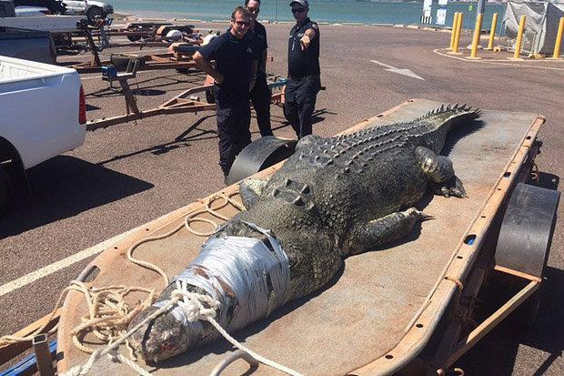 Con cá sấu sau khi bị bắt lên bờ. Ảnh: EPA