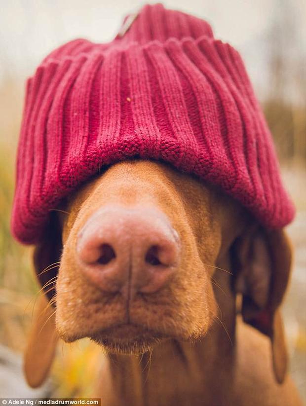Không chỉ vậy, Vizslas còn là một giống chó rất trung thành.