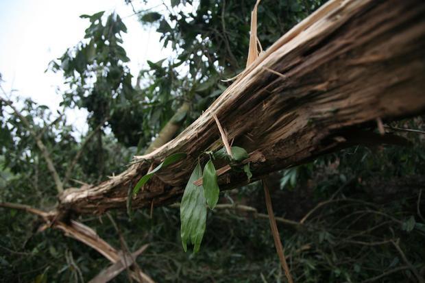 Một cây keo bị sét đánh trúng, cành nứt toác.