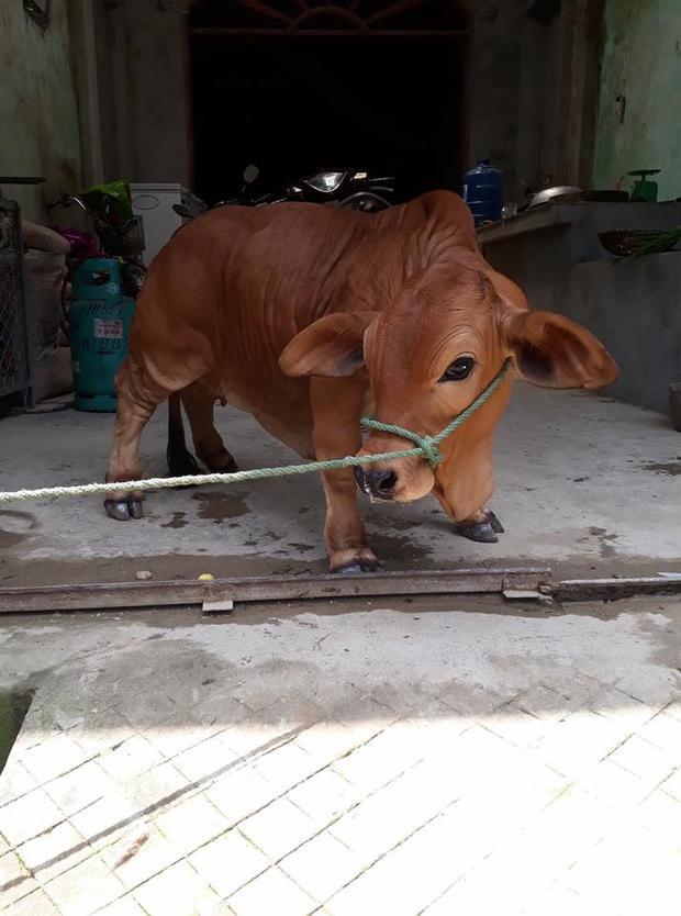 Chú bò khiến cư dân mạng phát cuồng.