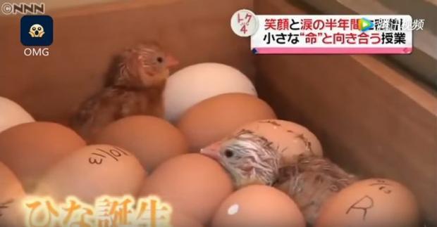 Những chú gà con được tự tay các em học sinh ấp nở. Ảnh: NNN