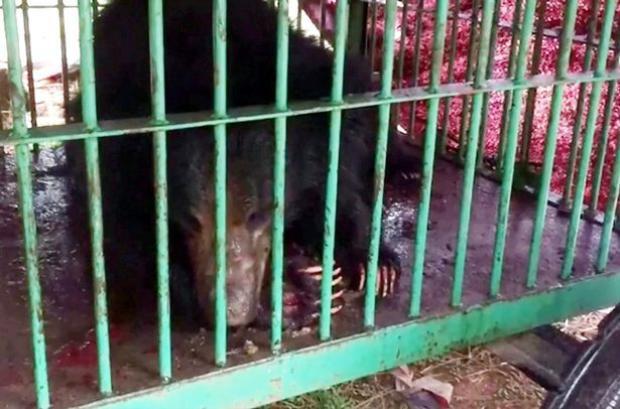 Con gấu đang ở trại dưỡng thương. Ảnh: India Photo Agency