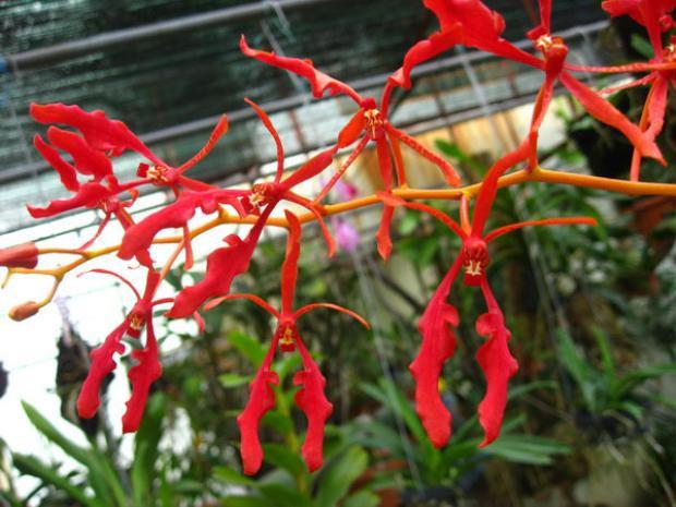Phong lan phượng vĩ có cánh và màu hoa giống hoa phượng vĩ, đỏ rực, hoa nở bền khoảng 3 tháng mới tàn.