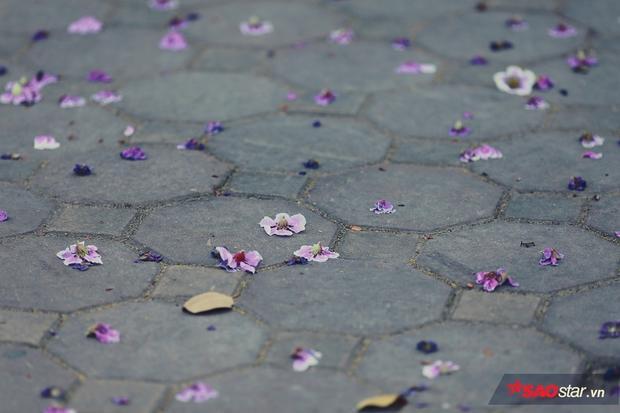Hoa bằng lăng cũng rất chóng tàn, chỉ cần trận mưa rào hay cơn giáo mạnh là cánh hoa rơi đầy gốc cây.