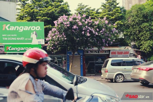 Hoa bằng lăng trong màu tím giản dị góp phần làm nên một phong cách tao nhã, duyên dáng của Thủ đô.