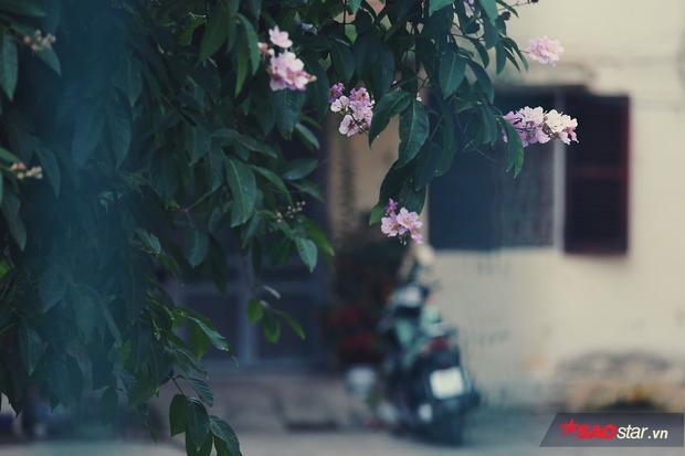 Hoa bằng lăng đẹp ngay từ khi mới chớm nở giữa những chùm nụ tím nhẹ nhàng.