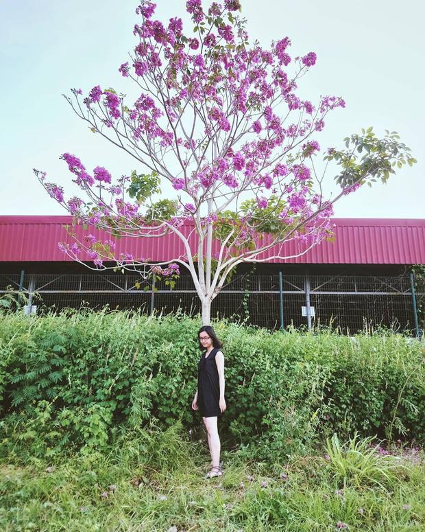 Dù chỉ được trồng đơn lẻ, nhưng cây kèn hồng nơi đây lại có vẻ đẹp riêng thu hút không kém dàn kèn hồng ở khu Sư phạm ĐH Cần Thơ là bao.