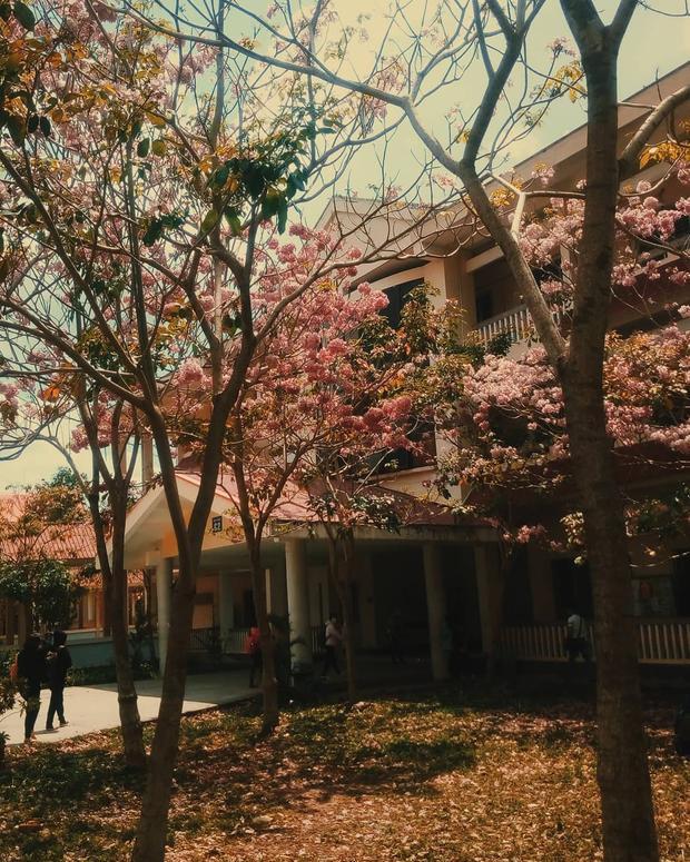 Sắc kèn hồng ngả dần dưới ánh chiều tà cũng đem lại một vẻ đẹp xiêu lòng cho khuôn viên ĐH Cần Thơ.