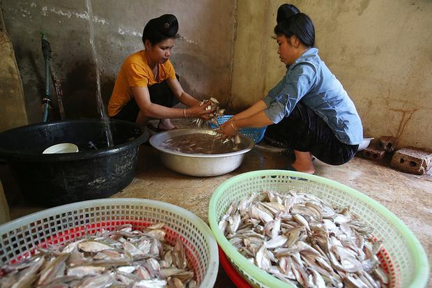 Mỗi mẻ cá khoảng 5 kg được rửa sạch cho ráo nước. Mùa cao điểm, các gia đình phải thuê thêm nhân công làm việc, mỗi người mổ liên tục cả chục cân mỗi sáng. Có gia đình mỗi ngày chế biến 2 tạ cá tươi.