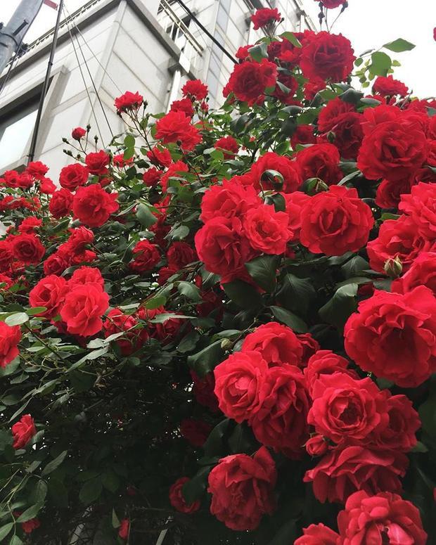 Dân mạng xuýt xoa với cánh cổng hoa hồng lãng mạn như trong cổ tích