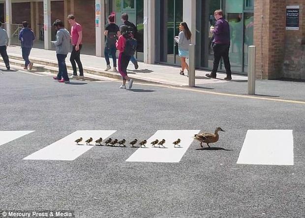 Đàn vịt băng qua đường thông qua vạch để dành cho người đi bộ.