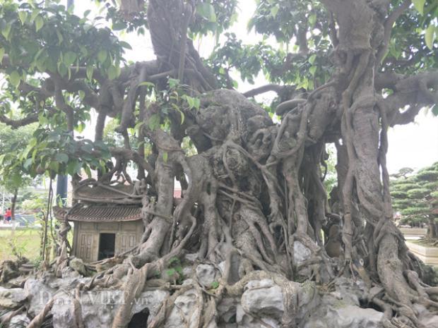 Anh Thành cho biết, cây sanh cảnh của gia đình anh đã có tuổi đời lên đến trên dưới 200 năm. Với chiều cao của cây khoảng gần 2m, chiều rộng khoảng trên dưới 3m, cây kiểng này đã từng được anh đưa đi dự nhiều cuộc triển lãm ở các tỉnh, thành.