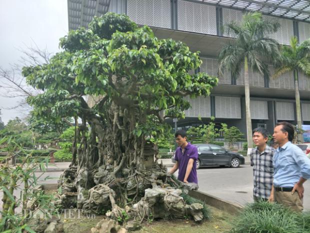 Theo ông Phạm Minh Phượng, chủ một nhà vườn cây cảnh ở Nam Định thì cây sanh cảnh trên có dáng và thế khá độc đáo tuy nhiên, tuy nhiên cây cảnh này vẫn chưa thực sự hoàn hảo. Bởi, các bông tán của cây vẫn chưa thành hình, lá cây vẫn còn để to cần chỉnh lại thì mới thực sự đẹp.