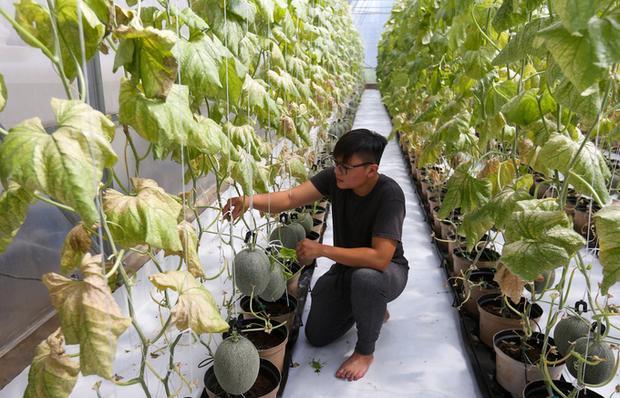 """Trần Phương Tùng (21 tuổi) học Quản trị kinh doanh tại Mỹ nhưng anh lại quyết định quay trở về Việt Nam lập nghiệp với giống dưa lưới Ichiba Nhật Bản.Giữa năm 2017, Tùng mượn đất của mẹ ở xã Bình Mỹ (huyện Củ Chi, TP HCM) đầu tư 4.000 m2 nhà vườn trồng dưa lưới Nhật. """"Mình nhận thấy giống dưa này có tiềm năng vì còn mới mẻ ở Việt Nam nên quyết định trồng. Mình đầu tư nhà màng, cây giống, hệ thống tưới nhỏ giọt… hết 3,5 tỷ đồng để trồng theo công nghệ cao, không dùng thuốc trừ sâu. Đặc biệt là dưa trồng trong giá thể gồm mụn dừa, đất, dinh dưỡng… thay vì mọc trong đất bình thường"""", Tùng chia sẻ."""