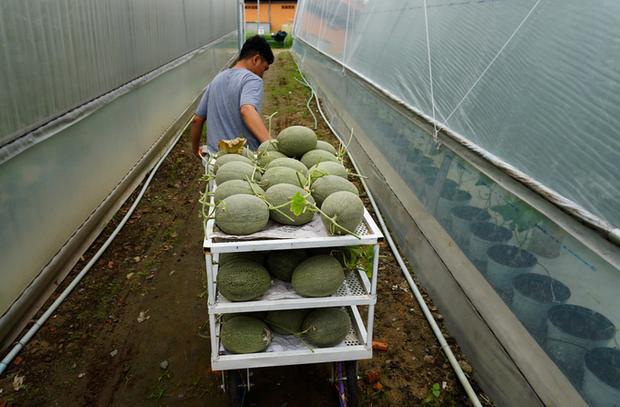 Công việc thu hoạch dưa lưới diễn ra chỉ trong khoảng hai tiếng đồng hồ.