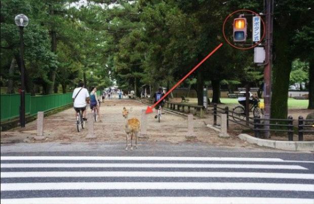Đàn vịt đứng đúng vạch kẻ, chờ đèn chuyển xanh mới sang đường gây sốt mạng xã hội