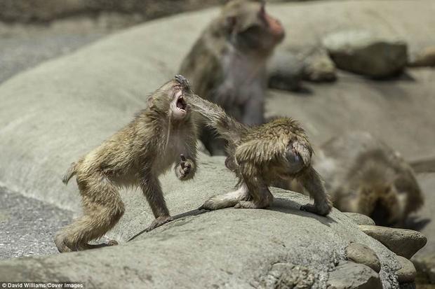Những con khỉ tuyết rất thích chiến đấu. Chúng thích sống tại một khu vực rộng lớn, có hồ nước.