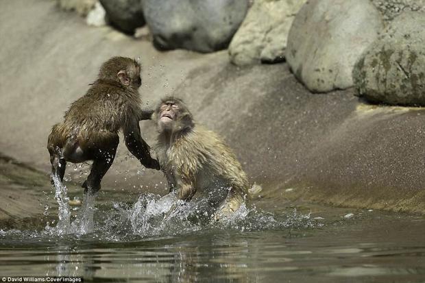 Tại đây, những con khỉ trẻ có thể thoải mái tung đòn về đối thủ trong khi đó, những con khỉ già lại chọn cách nằm thư giãn dưới hồ nước mát lạnh.
