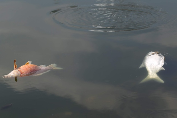 Cá chết nổi lên phần lớn là cá mè và cá chép có trọng lượng từ 1kg đến hơn 2kg.