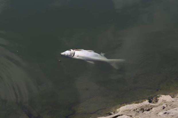 Hiện tại số lượng cá chết chưa được thống kê.