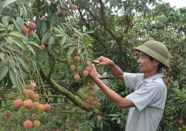 Chưa đầy 3 sào đất nhưng mỗi năm gia đình ông Nguyễn Duy Dương thu về hơn 200 triệu đồng, chưa kể khoản tiền bán cây giống.