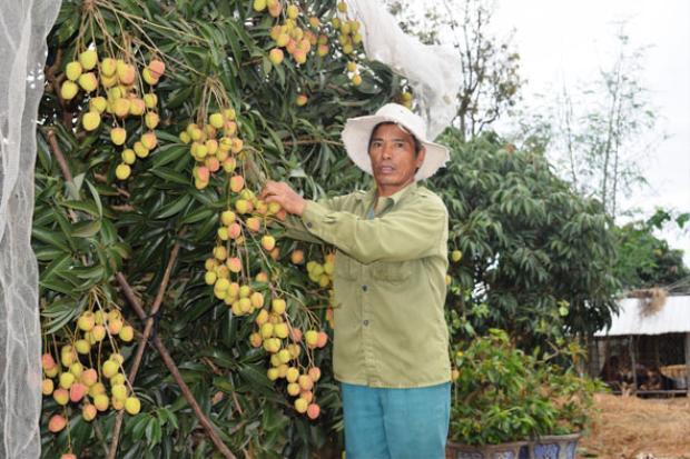 Ông Nguyễn Văn Hoành, ở thôn 12A, xã Ea Kly, huyện Krông Pắc (tỉnh Đắk Lắk) bên vườn vải của gia đình. Ảnh: báo Đắk Lắk.