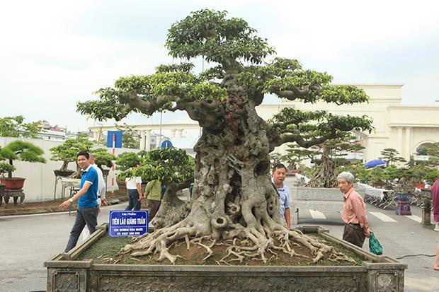 """Mới đây, cây sanh có tên """"tiên lão giáng trần"""" xuất hiện tại Triển lãm Sinh vật cảnh Hải Dương khiến giới chơi cây sửng sốt."""