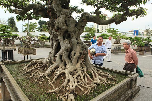 """Anh Dương Văn Mười (Thường Tín, Hà Nội), chủ nhân của tác phẩm cho biết, đây là lần đầu tiên anh """"trình làng"""" cây sanh tại triển lãm. Cây cao khoảng gần 2m, đặt trong chậu dài 1,5m."""