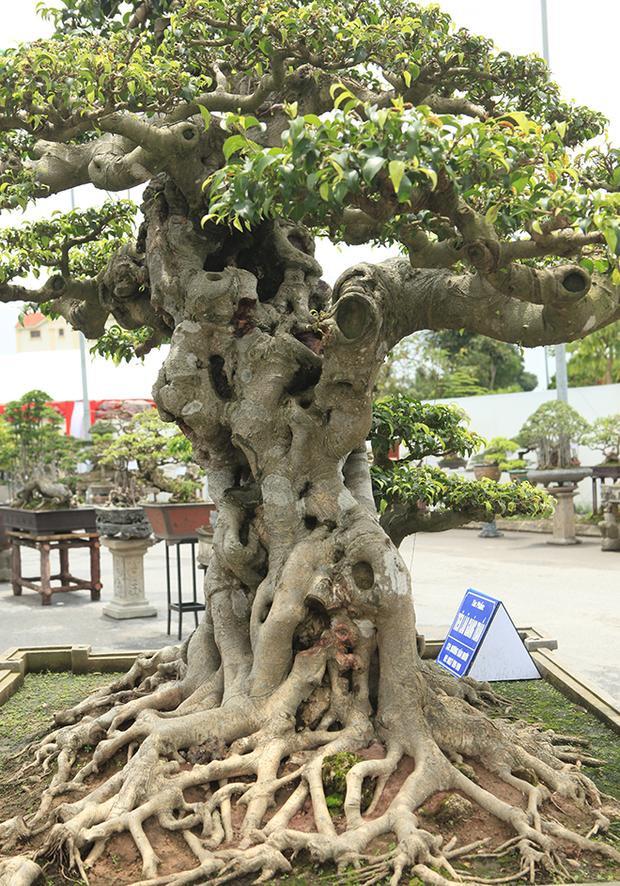 Thân cây to khỏe, với những vết sẹo của năm tháng hằn lên mang đến cho người xem sự thích thú.