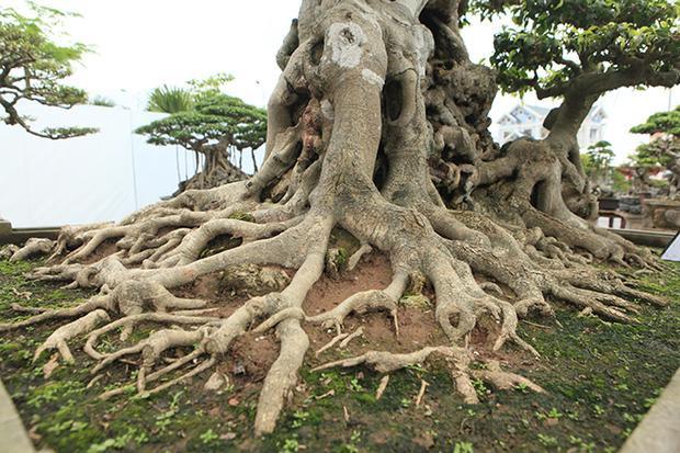 Bộ rễ của cây ăn ra tứ phía chiếm gần trọn diện tích chậu.