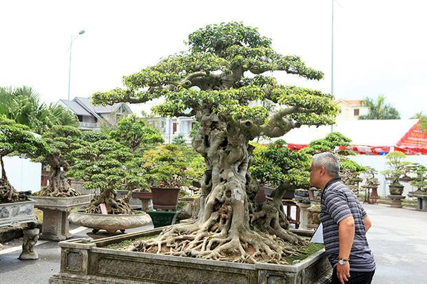 Theo chủ nhân của tác phẩm, cây sanh có tuổi đời khoảng 300 năm được mua từ nhà thờ Phát Diệm (Ninh Bình).