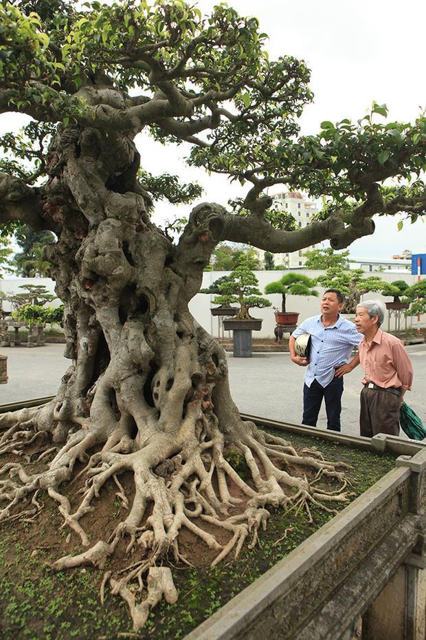 """""""Trước kia cây sanh này chỉ là một phần của ngọn cây bởi lúc mới mua cây quá cao, tôi muốn cắt ra thành từng phần, sau đó tạo tác theo ý muốn của mình. Phần gốc cây tôi vẫn tạo tác ở vườn"""", anh Mười cho biết."""