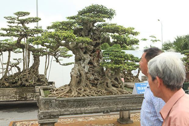 """Sau 10 năm tạo tác kì công, tác phẩm đã dần hoàn thiện. Đây là cây sanh dáng trực với tên gọi """"tiên lão giáng trần"""" có ý nghĩa cây như hình ảnh một lão già nua nhưng vẫn uy nghi, lẫm liệt, kiêu hùng, hiên ngang."""