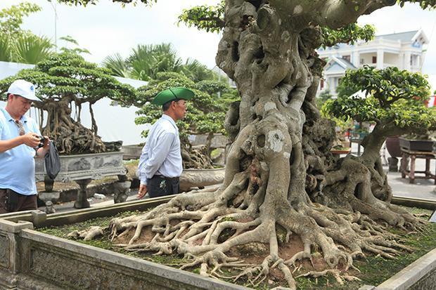 Phần gốc cây có một cây nhỏ như cháu chắt vui đùa bên ông bà.