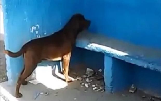 Chú chó nhìn chằm chằm vào tường suốt 3 ngày khiến nhiều người tò mò. Ảnh cắt từ video