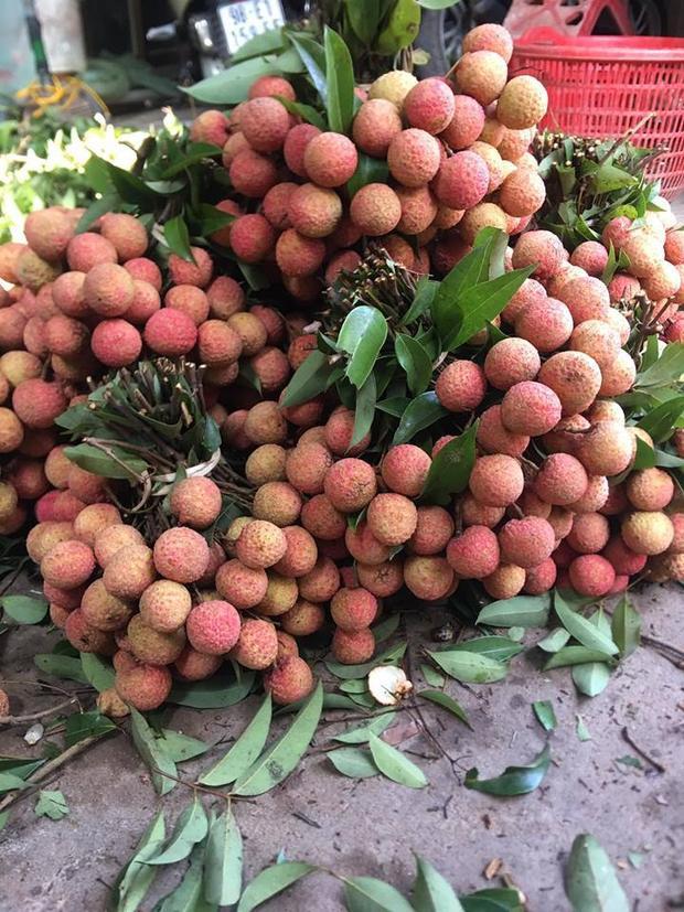 Hình ảnh người dân Bắc Giang thu hoạch vải thiều sớm.