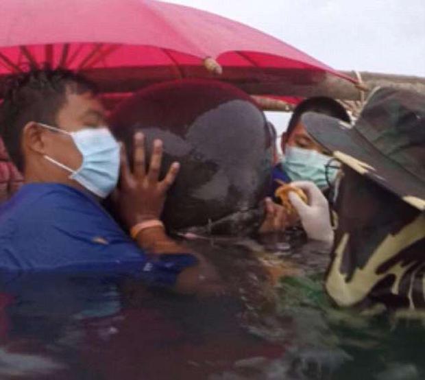 Nhóm nhân viên thú y đã cố gắng hết sức để cứu con cá nhà táng nhưng không thành công.