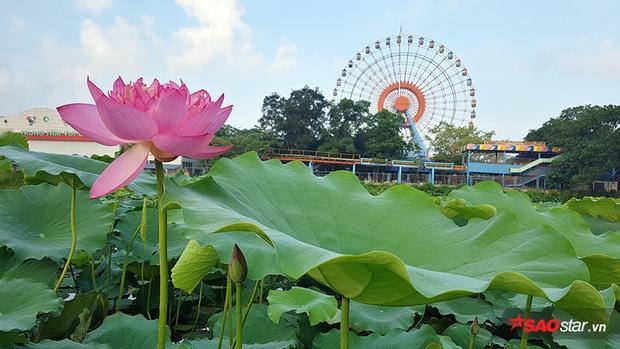 Đầm sen gần công viên nước là nơi được nhiều người lựa chọn ghé đến chụp ảnh.