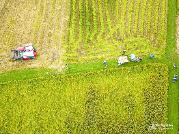 Không khí hối hả trên những cánh đồng. Ảnh: Trung Hà