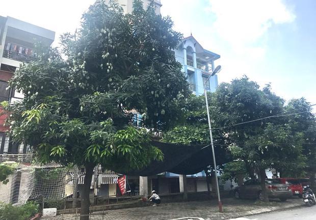 Theo ông Giáp, khu đô thị này trồng khoảng gần 50 cây xoài, năm nay là năm hiếm có vì cây nào cũng được mùa, quả sai trĩu cành.