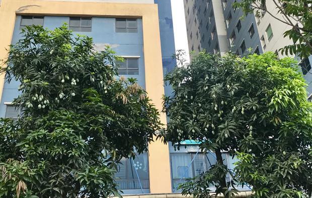 Những cây xoài trồng tại khu đô thị Kim Văn Kim Lũ (Hoàng Mai) cũng sai trĩu cành dù người dân đã hái nhiều.