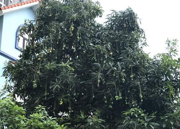 Nhiều cây quả đã bắt đầu chín.