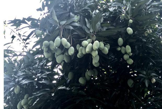 Tuy nhiên, nhiều gia đình trồng phải loại xoài đến chín vẫn có vị chua, không được ngọt như xoài Cát Chu hay các loại khác.