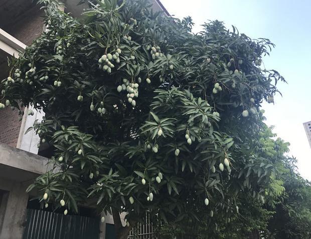 Nhiều cây quả sai chi chít, chỉ nhìn thôi cũng đủ thèm.