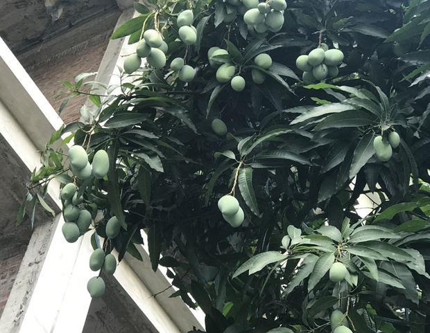 Ông Giáp - nhân viên bảo vệ của một khu đô thị, cho biết, ông đã làm bảo vệ tại khu này được hơn 4 năm, lần đầu tiên ông thấy cây xoài cho nhiều quả đến vậy. Những mùa trước, xoài chỉ ra hoa chứ không đậu quả, hoặc mỗi cây cũng chỉ được vài quả.