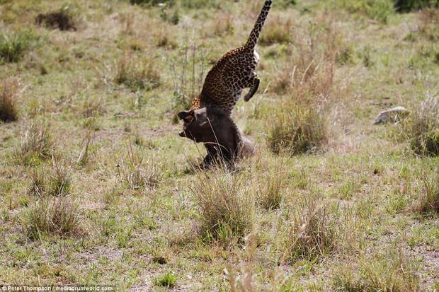 Loài báo hoa mai xuất hiện nhiều ở vùng cận sa mạc Sahara, châu Phi và một số vùng ở châu Á. Chúng được liệt vào sách đỏ vì số lượng đang giảm dần do môi trường sống bị phá hủy.