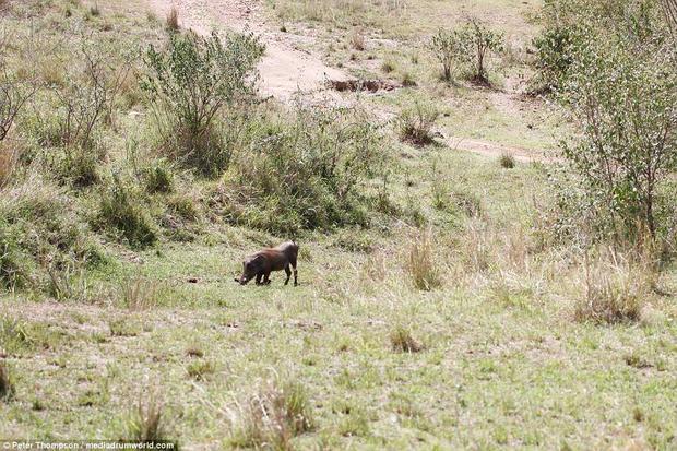 Con lợn rừng vẫn đi xung quanh bãi cỏ mà không biết là sắp chết.