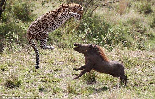 """Cuộc """"hỗn chiến"""" được Peter Thompson, người quản lý trại, ghi lại tại vườn quốc gia Maasai Mara, Kenya.""""Sau bữa trưa, tôi cùng vợ là Stacy lái xe để tới một trại khác. Vừa ra khỏi trại khoảng 200 m, chúng tôi thấy một con báo cái đang ngủ dưới đám cây bụi nhỏ. Chúng tôi dừng lại và theo dõi con vật. Chưa đầy 2 phút, con báo đốm thức giấc và bắt đầu rình rập một con lợn rừng. Khi nó áp sát con mồi ở một bụi cây gần đó, chúng tôi nghĩ mọi chuyện sẽ kết thúc với con mồi và không định chứng kiến màn kết liễu đó"""", Thompson chia sẻ."""