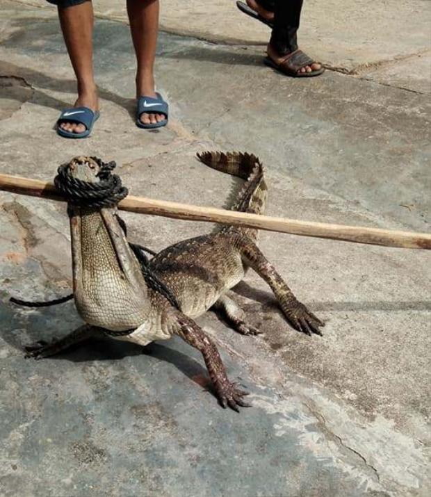 Con cá sấu sổng chuồng bị người dân bắt lại.