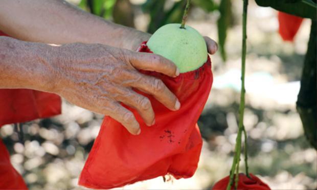 Trái xoài được bao bằng túi vải nylon bóng đẹp, không bị nám. Ảnh: Hoàng Nam.